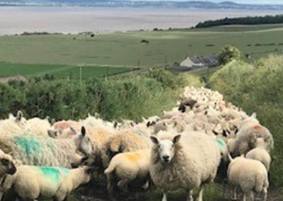 Sheep on road with Logie Farm in background