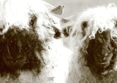 logie farm holiday pods sheep
