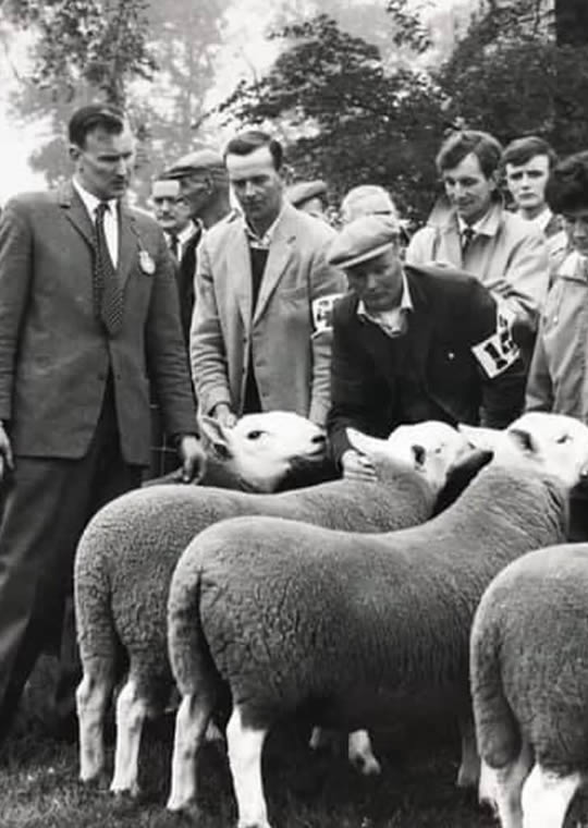 sheep at logie farm in the past